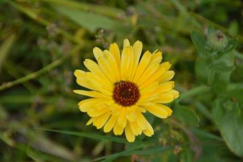 Marigold Flower Garden Yellow Nature Flora