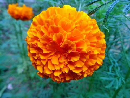 Marigold Orange Flower Plant Yellow Nature