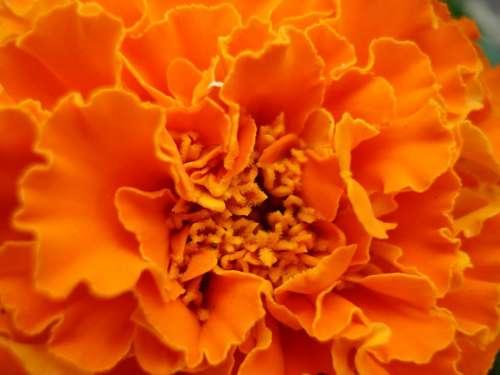 Marigold Flower Orange Beautiful Colorful