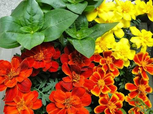 Marigolds Seedlings Spring Planting Garden