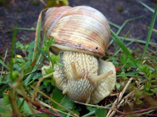 Marko Recording Snail Mollusk