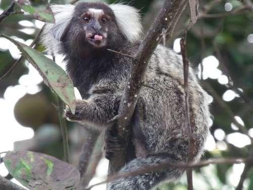 Marmosets Nature Language Monkey Rio Tinto