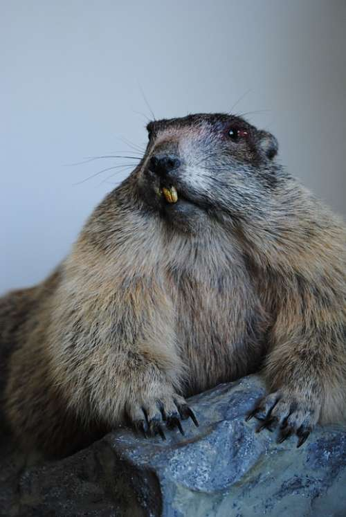 Marmot Stuffed Old Tooth Biter