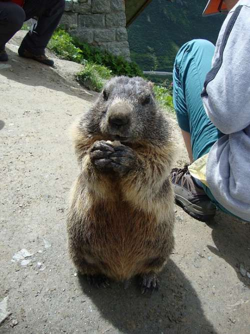 Marmot Animals Nature Eating Begging Enjoy Alpine
