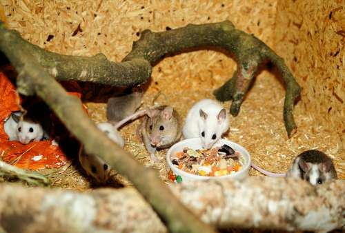 Mastomys Mice Rodents Pets Savannah Cute Society