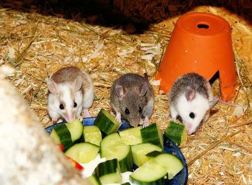 Mastomys Mice Rodents Society Cute