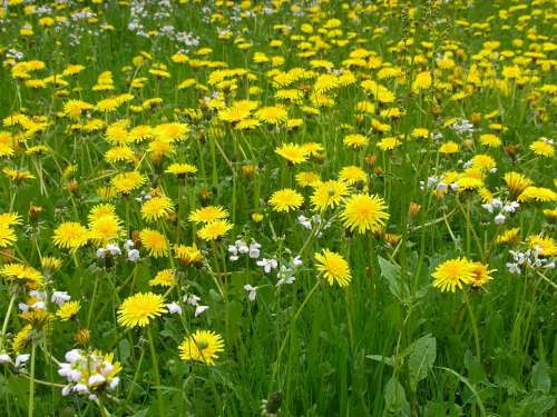 Meadow Spring Dandelion Blossom Bloom Yellow