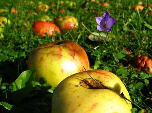 Meadow Apple Summer