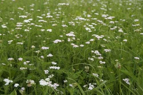 Meadow Grass Summer Summer Meadow White Green