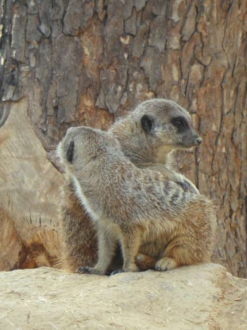 Meerkat Pair Two Zoo Together Friendship