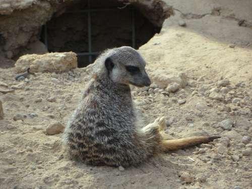 Meerkat Lonely Sit Zoo
