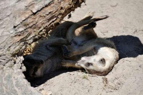 Meerkat Zoo Animals Nature Play Shadow