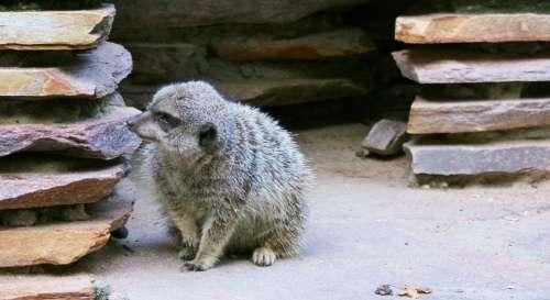Meerkat Mammal Family Animal Rodent