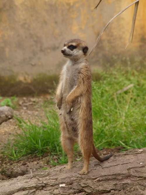 Meerkat Zoo Observer