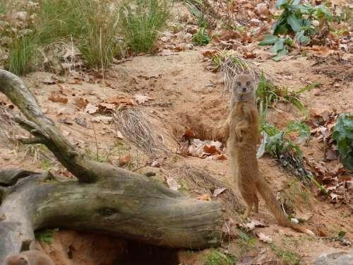 Meerkat Animal Nature