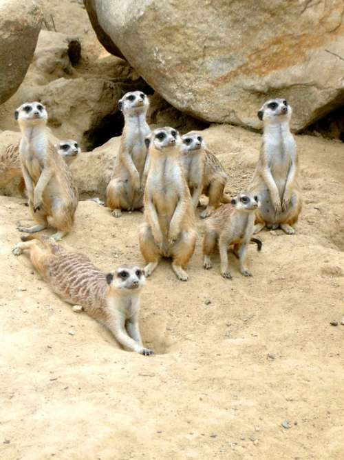 Meerkat Zoo Animal Sand Desert Attention Vigilant