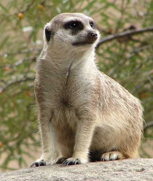 Meerkat Animal Guard Funny Cute Lively Desert