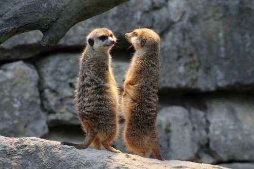Meerkat Watch Guard Nature Animals Mammal Funny