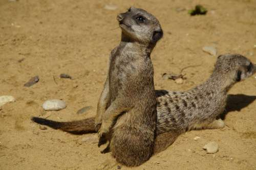Meerkat Cute Animal World Sand Zoo Dry Curious