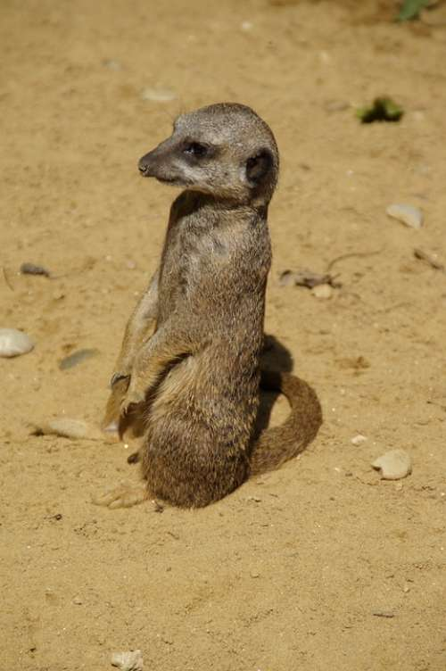 Meerkat Cute Animal World Sand Zoo Dry Curious