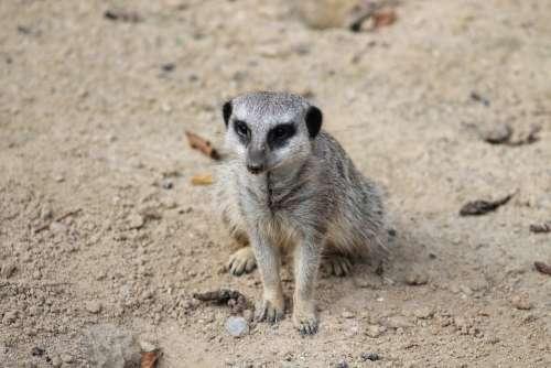 Meerkat Mammal Animal Nature Cute