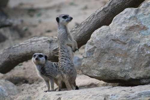 Meerkat Mammal Funny Animal Nature Guard Cute