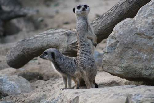 Meerkat Mammal Funny Animal Nature Guard Cute