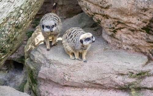 Meerkat Nature Cute Mammal Fur Furry Face Brown
