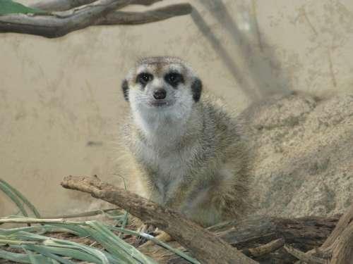 Meerkat Animal Mammal Cute Zoo Creature