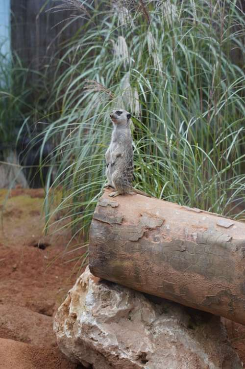 Meerkat Supervisor Supervision Watch Guard
