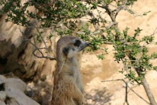Meerkat Animal Zoo