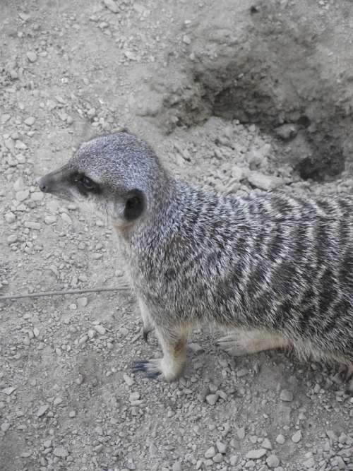 Meerkat Wild Zoo Nature Animals Suricate Animal