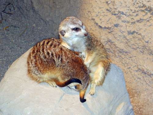 Meerkats Live Groups Southern Africa Animals