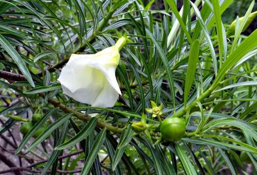 Mexican Oleander Thevetia Peruviana Flower Fruit