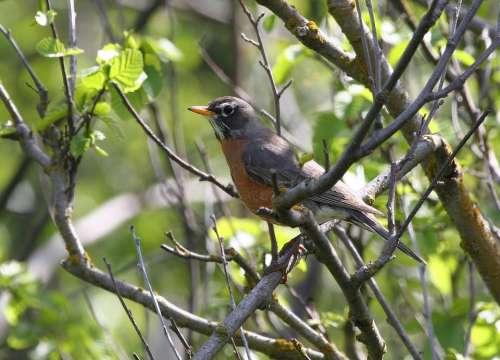 Migratorius Turdus Bird American Robin Birds