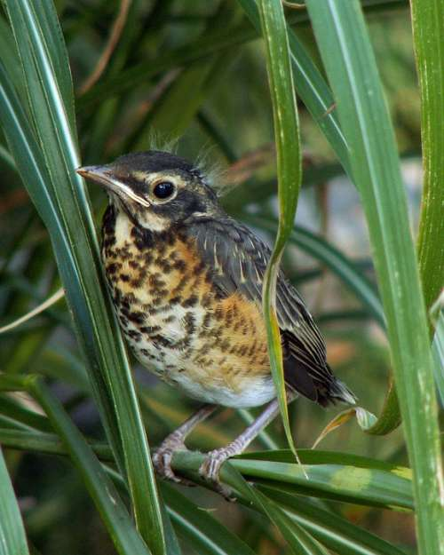Migratorius Turdus Bird Baby Chick American Robin