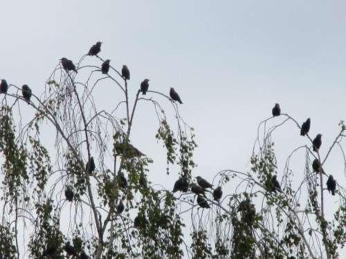 Migratory Birds Stare Flock Of Birds Meeting Point