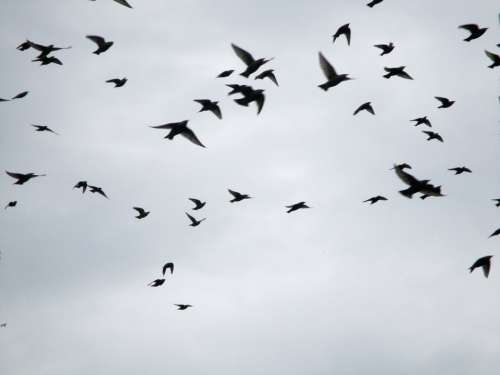 Migratory Birds Flock Of Birds Stare Star Flight