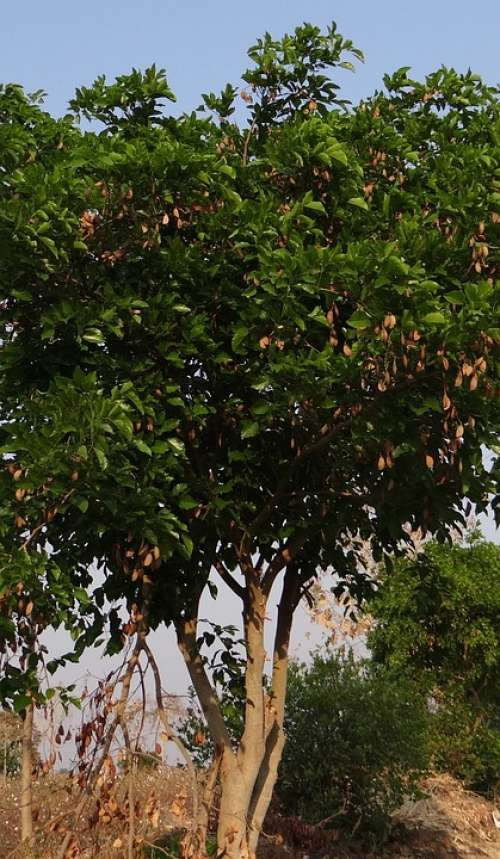 Milletia Pinnata Karanj Tree Flora Pongamia Pinnata