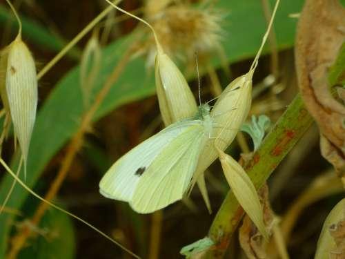 Mimicry Butterfly Pieris Brassicae