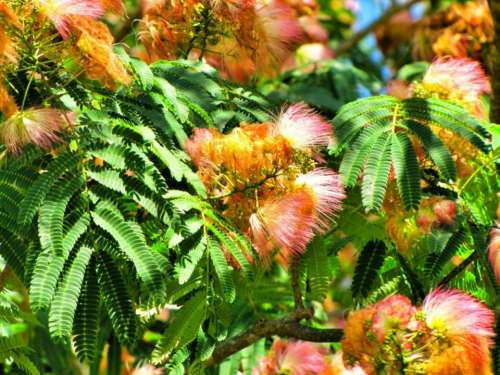 Mimosa Tree Trunk Leaves Branches Nature Woodland