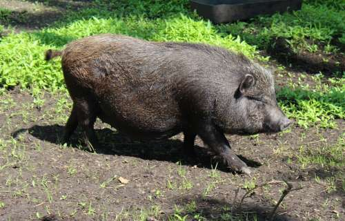 Miniature Pig Pig Domestic Pig Domestic Pigs Animal