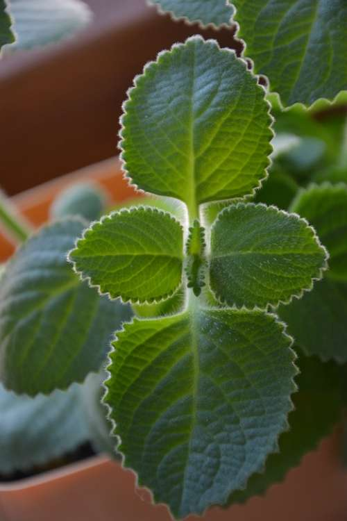Mint Herb Herbs Tea Plant Plants Green