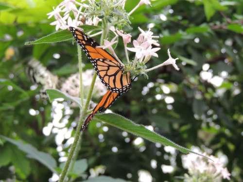 Monarch Butterfly Danaus Plexippus Butterfly Animal