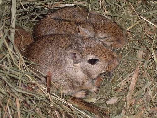 Mongolian Gerbils Mice Gerbils Mouse Nager Brown