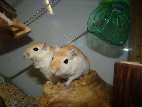 Mongolian Gerbils Mice Small Animals Curious Nager