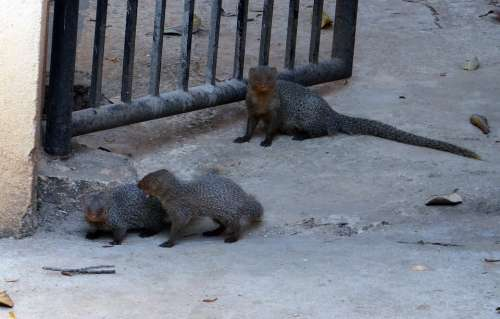 Mongoose Gnawer Rodents Animals Mammals Babies