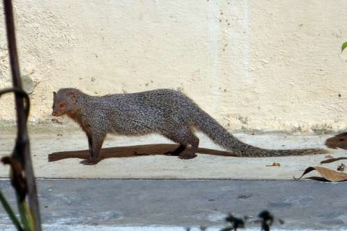 Mongoose Gnawer Rodent Animal Grey Mammal India
