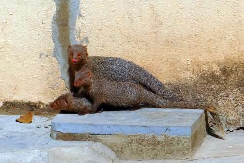 Mongoose Mama Youngs Grey Indian India