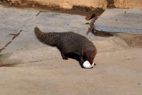 Mongoose Grey Indian Egg Grappling India